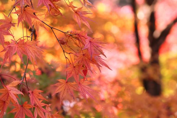 京都の紅葉を見に…