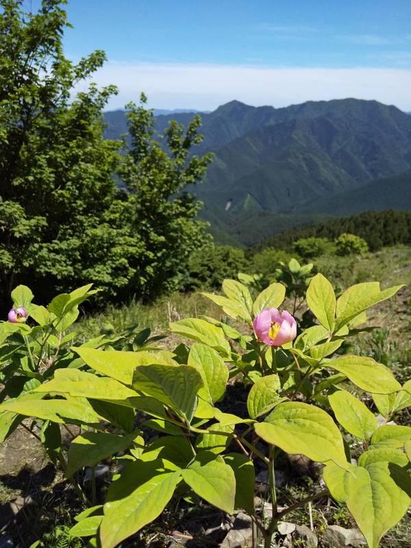 山芍薬の花